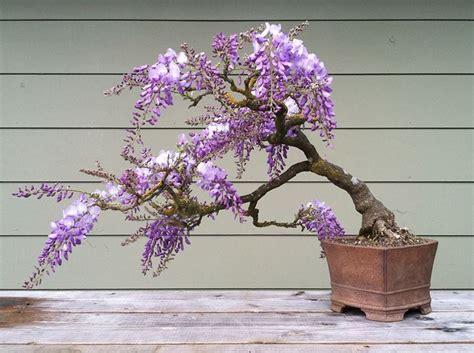 glicine in vaso prezzo glicine bonsai attrezzi e vasi per bonsai glicine