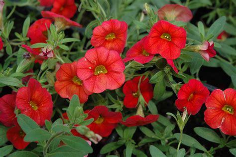 the cabaret of plants cabaret scarlet calibrachoa calibrachoa cabaret scarlet in ottawa nepean kanata stittsville