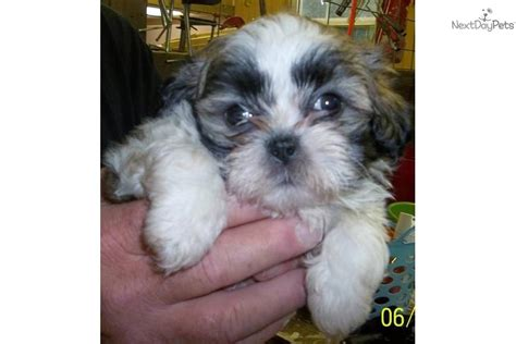 shih tzu puppies for sale birmingham al shih tzu for sale for 300 near birmingham alabama 2ce573a0 9111