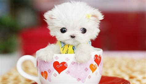 white tea cup yorkie white teacup yorkie pictures photos and images for and