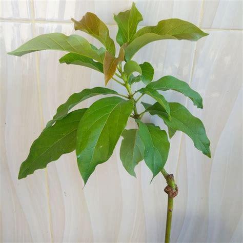 tanaman alpukat hass bibitbunga