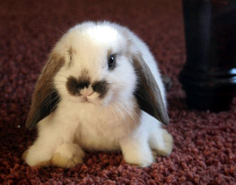 floppy eared bunny takes a seat on the carpet