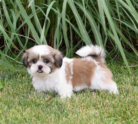 free puppies in maryland craigslist adorbale shih tzu pups craigspets