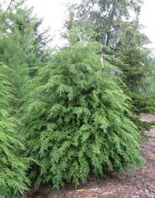 evergreen tree list dammanns