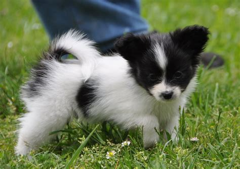 papillon puppy road s end papillons available papillon puppies