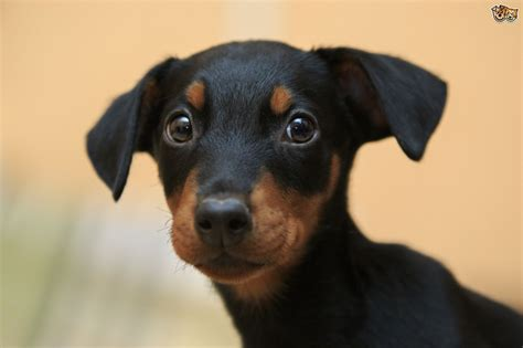 doberman puppies cost dobermann breed information buying advice photos and facts pets4homes