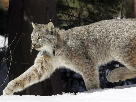 canadian snow lynx through golden eyes judge idaho s trapping rules put