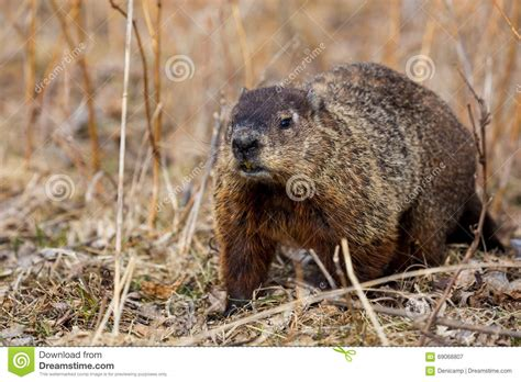 groundhog day lore ground hog or wood chuck stock photo image 69068807