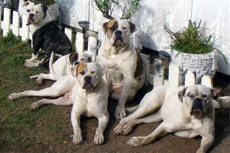 american best puppies protection dogs for families the five best guard dogs to own