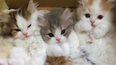 three cute kittens three cute kittens funnycat tv