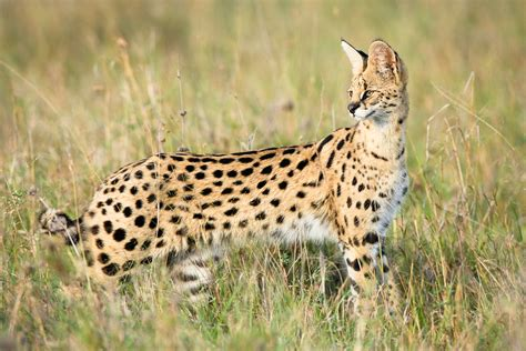 Mother In Law Homes by Amazing African Animals The African Small Cats Beautiful