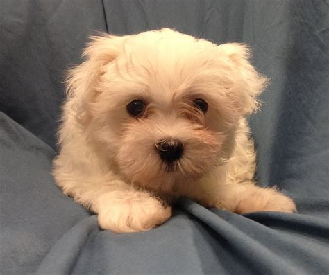 petland dogs chesterfield cruella de vil was maltese puppy thefts in missouri