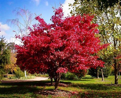 osakazuki japanese maple for sale online the tree center