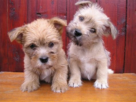 terrier mix puppies for sale lovely lhasa apso cross cairn terrier puppies coleraine county londonderry pets4homes