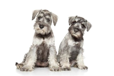 Miniature Schnauzer Dog Breed | miniature schnauzer2 jpg miniature schnauzer dog breeds