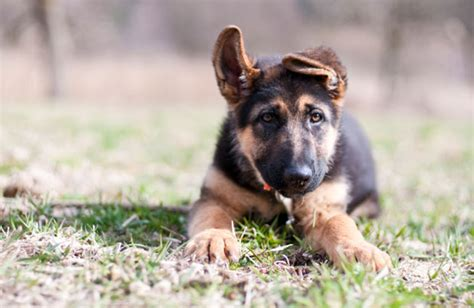 german shepherd puppy tips german shepherd puppies obedience protection and attack