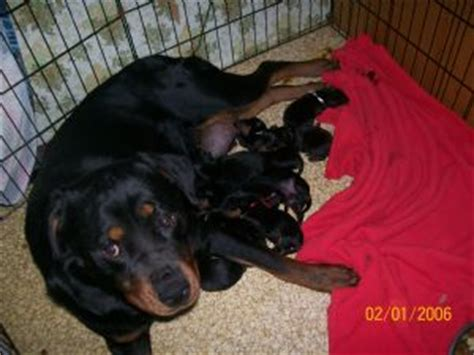 rottweiler puppies for sale in maine rottweiler puppies in maine