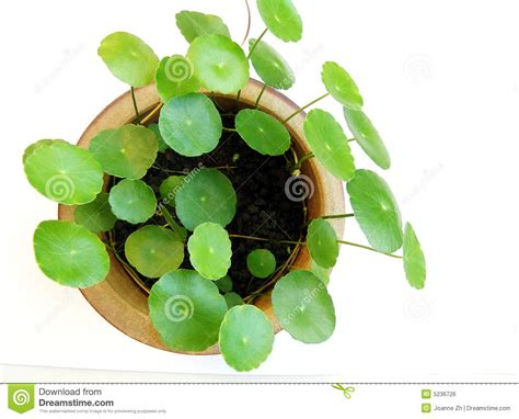 Well House Plans by Tropical Aquatic Plant In Pot Stock Photo Image 5236726