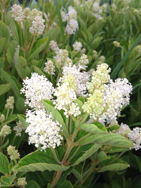 1000 images about nj native plants on pinterest gardens