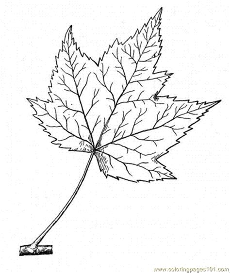 coloring page maple tree coloring pages maple 11 natural world gt trees free