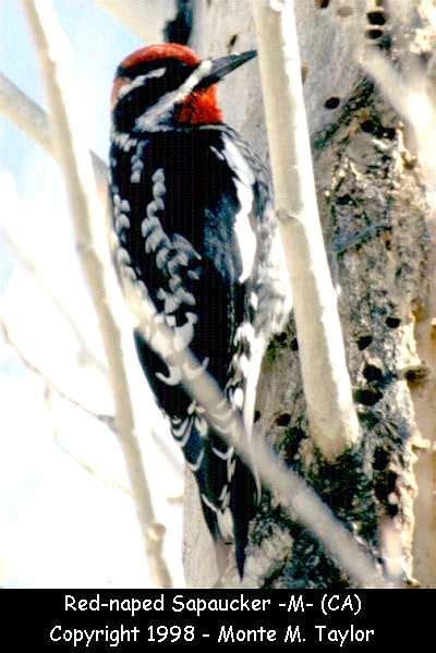 red naped sapsucker woodpecker sapsucker and flicker gallery