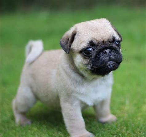cuttest pug 25 best ideas about pugs on pugs pug puppies and pug