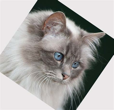domestic breeds domestic cat breeds