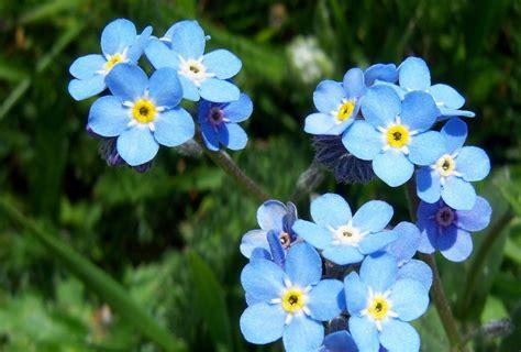 imagenes flores no me olvides im 225 genes de flores y plantas nomeolvides