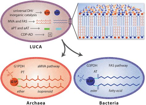 frontiers biosynthesis  archaeal membrane ether lipids