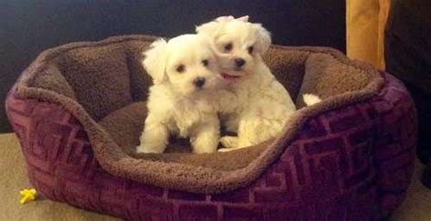 teacup puppies for sale in va and teacup puppies for sale in roanoke va personal