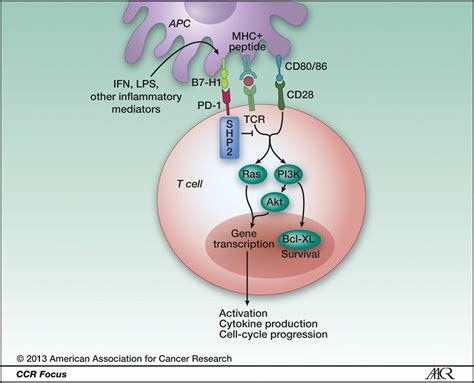 Antagonist Antibodies To Pd 1 And B7 H1 Pd L1 In The Treatment Of Advanced Human Cancer