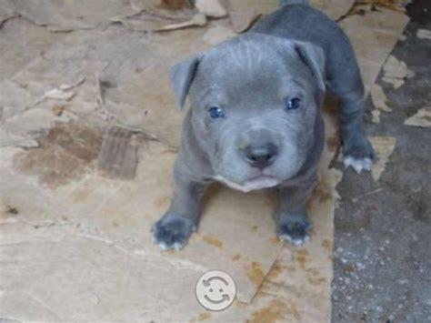 imagenes de perros pitbull blue pin fotos venta cachorros pitbull blue pictures on pinterest
