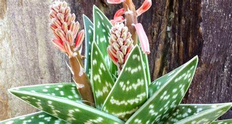 fiori aloe vera aloe aloe arborescens piante grasse aloe pianta