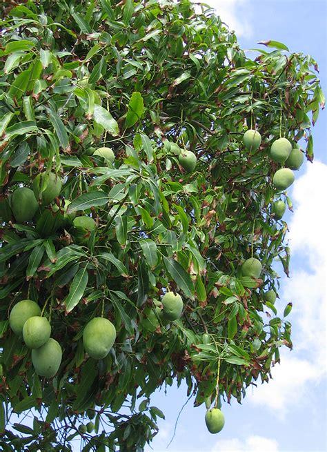 testi mango there s pickled then there s shoyu mango pomai test