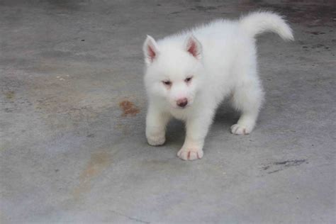 white husky puppy pics of white husky puppies www imgkid the image kid has it