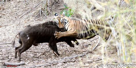 the tigers prey tiger hunting prey www pixshark com images galleries with a bite