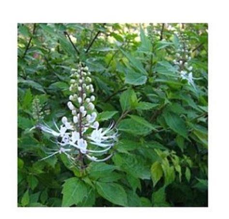 Biji Bunga Bungur Putih tanaman