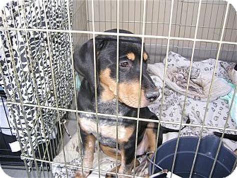 rottweiler rescue las vegas c s cricket adopted puppy las vegas nv rottweiler catahoula leopard mix