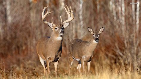 Bucks With by Whitetail Deer Bucks Wallpaper
