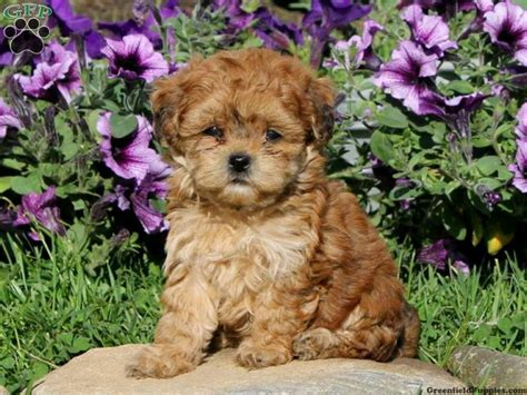 havapoo puppies for sale 17 best images about havapoo puppies on poodles my boys and to heaven