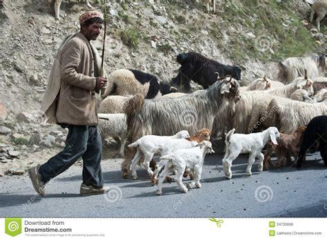 Le Berger L by Le Berger De L Himalaya M 232 Ne Sa Ch 232 Vre Et Les Moutons S Assemblent Photo Stock 233 Ditorial Image