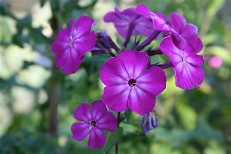 wallpaper bunga violet violet flower bunga lilac 183 foto gratis di pixabay