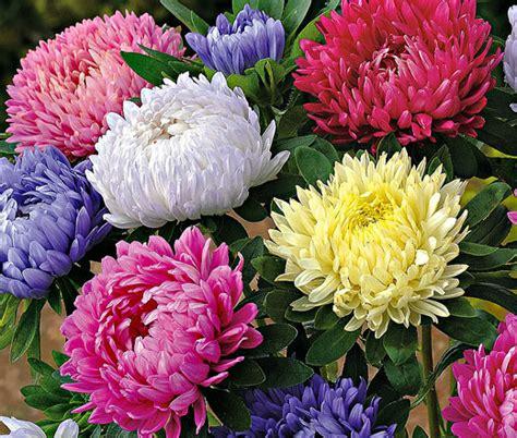Bibit Bunga Aster Single Mixed China Flower Mix Colour aster paeony duchess mix seeds callistephus chinensis