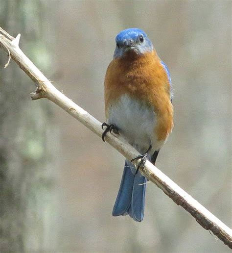 all about bluebirds north carolina bluebird society