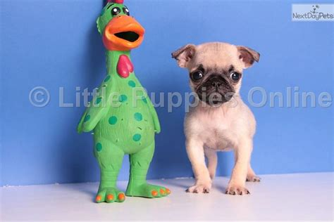 pugs ohio pug puppy for sale in columbus breeds picture