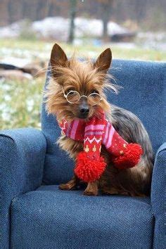 how smart are yorkies ok do you think these glasses make me look smart yorkies