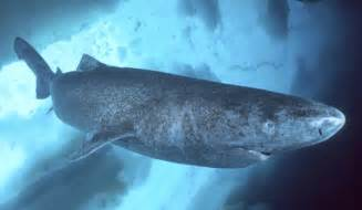 at almost 400 greenland shark likely oldest vertebrate in