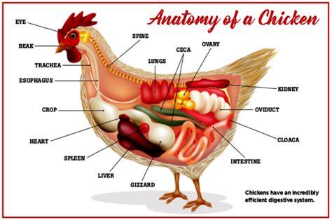 rooster diagram chicken beak anatomy