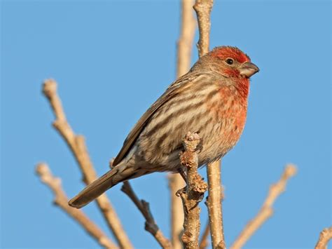 house finch wiki photos house finch