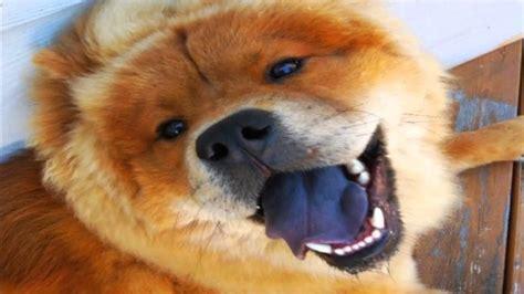 imagenes de animales sacando la lengua 191 sabes que animales tienen la lengua azul youtube